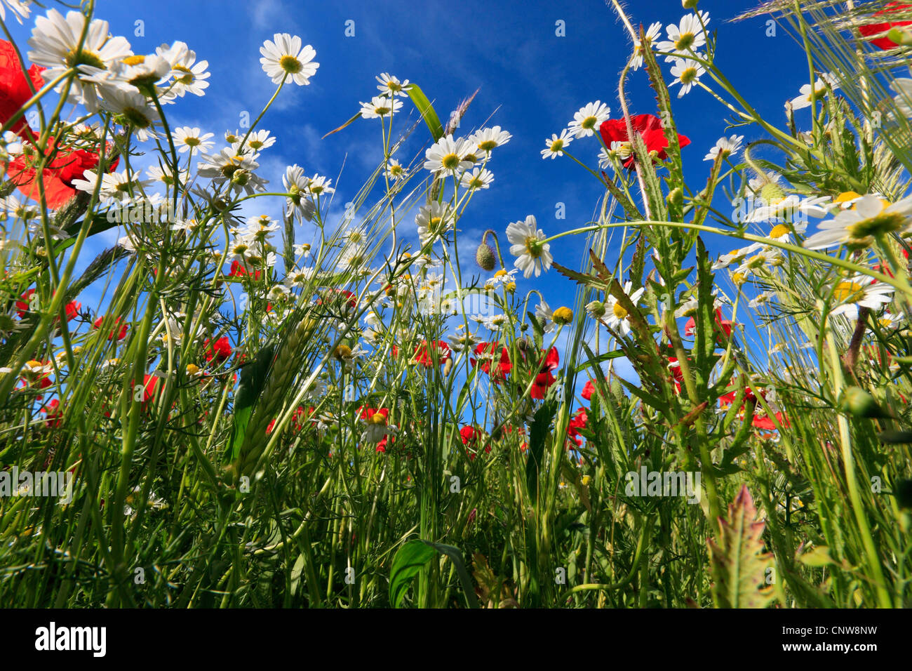 weeds at the border of a barley field, Germany - Stock Image