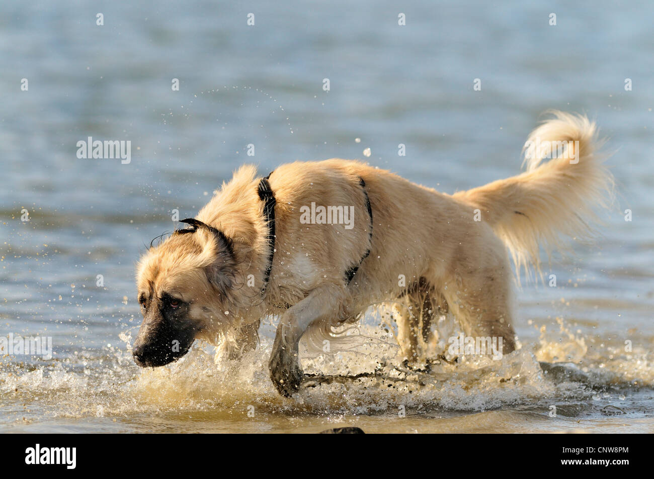 mixed breed dog (Canis lupus f. familiaris), searching for retrieving stick, Germany - Stock Image