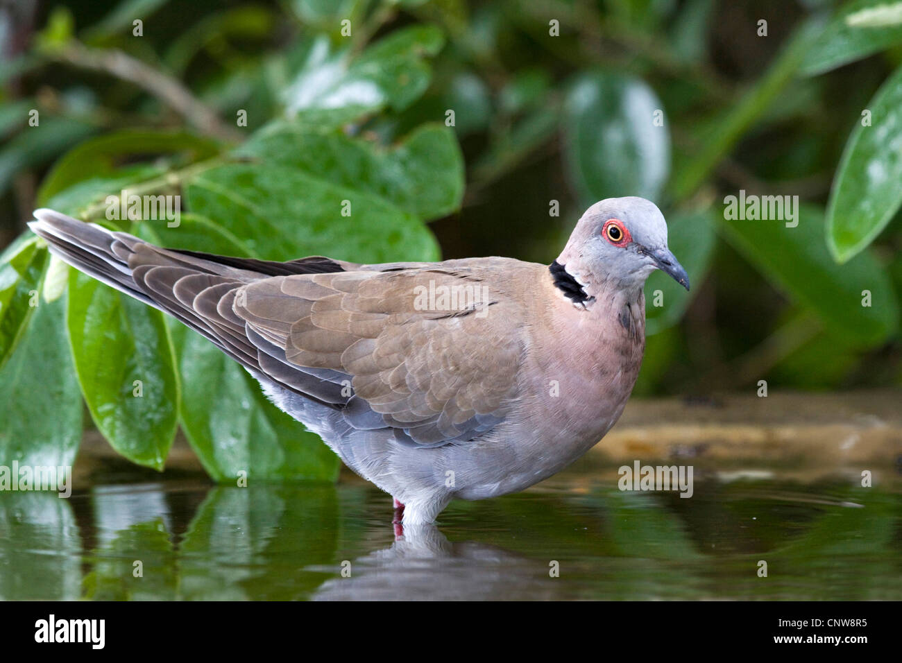 mourning collared dove (Streptopelia decipiens), at drinking place, Namibia, Mahango National Park - Stock Image