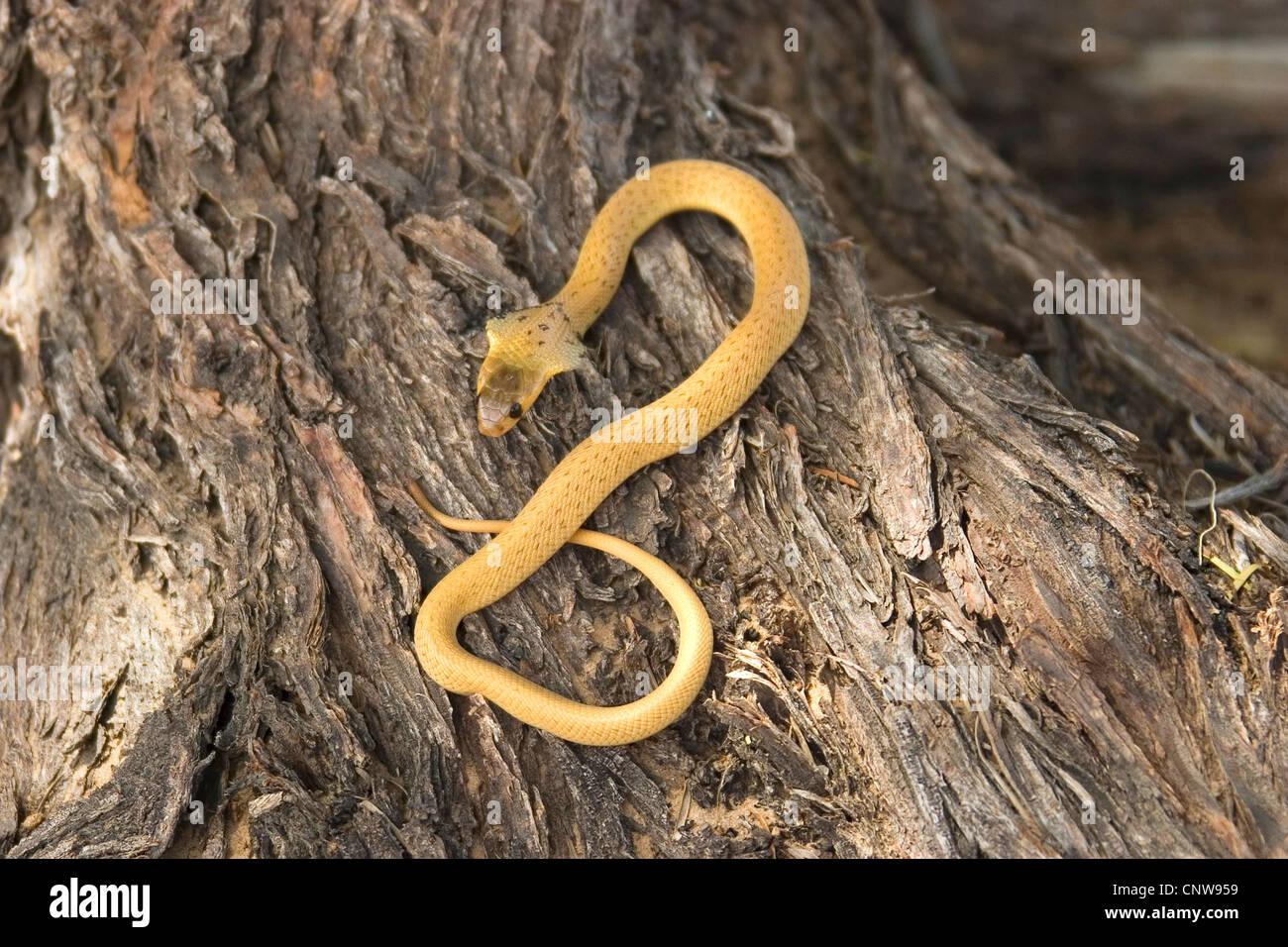 Cape cobra, yellow cobra (Naja nivea), juvenile in defence posture, South Africa, Kalahari Gemsbok National Park - Stock Image