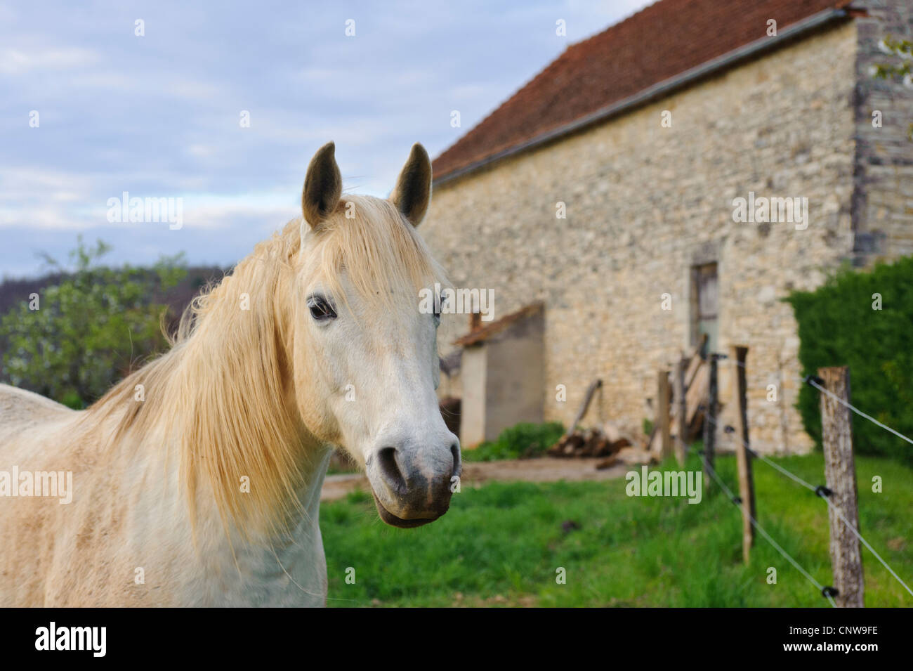 White horse on a French Farm in the Vallée du Lot in Southern France - Stock Image