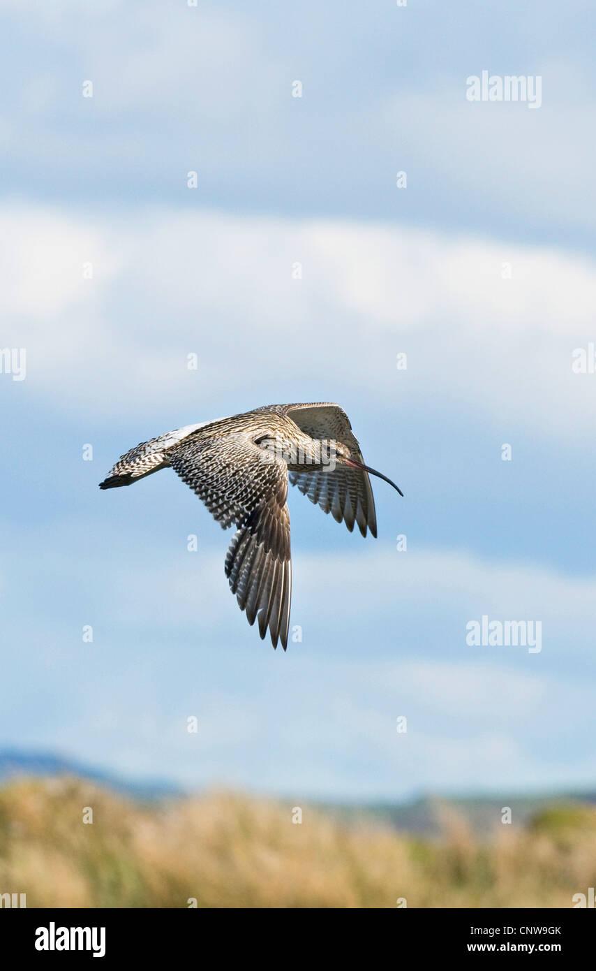 western curlew (Numenius arquata), in flight, United Kingdom, Scotland, Isle of Mull Stock Photo