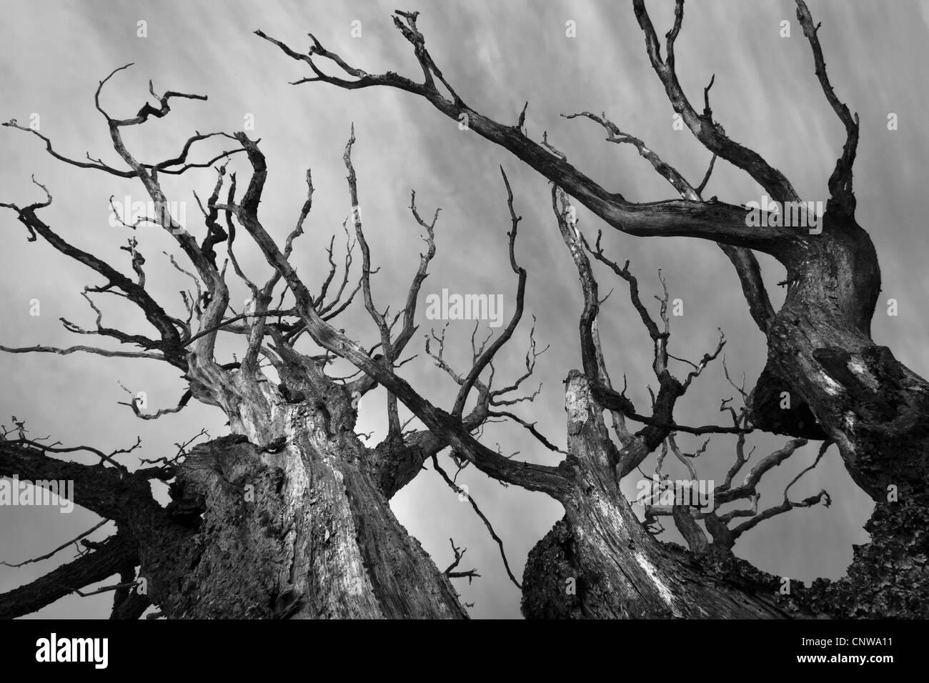 Dry oak tree at Dilling in Rygge kommune, Østfold fylke, Norway. - Stock Image