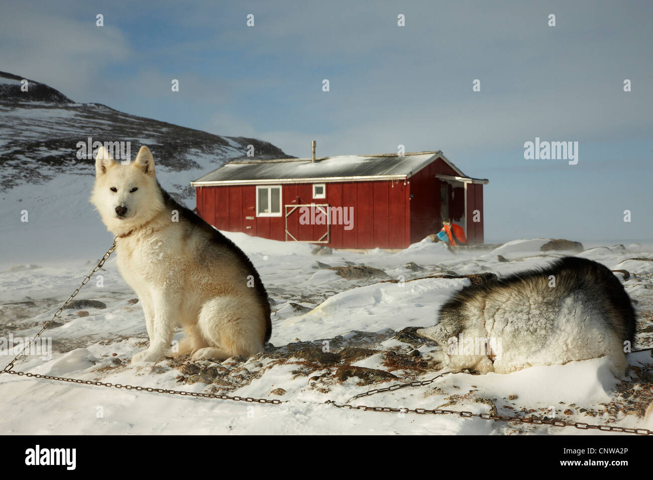 Greenland Dog (Canis lupus f. familiaris), two chained sledge dogs at hunting lodge in evening light, Greenland, - Stock Image