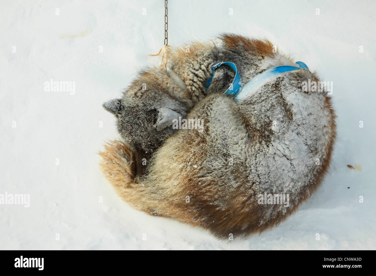 Greenland Dog (Canis lupus f. familiaris), coiled up in snow storm, Greenland, Ostgroenland, Tunu, Kalaallit Nunaat, Stock Photo