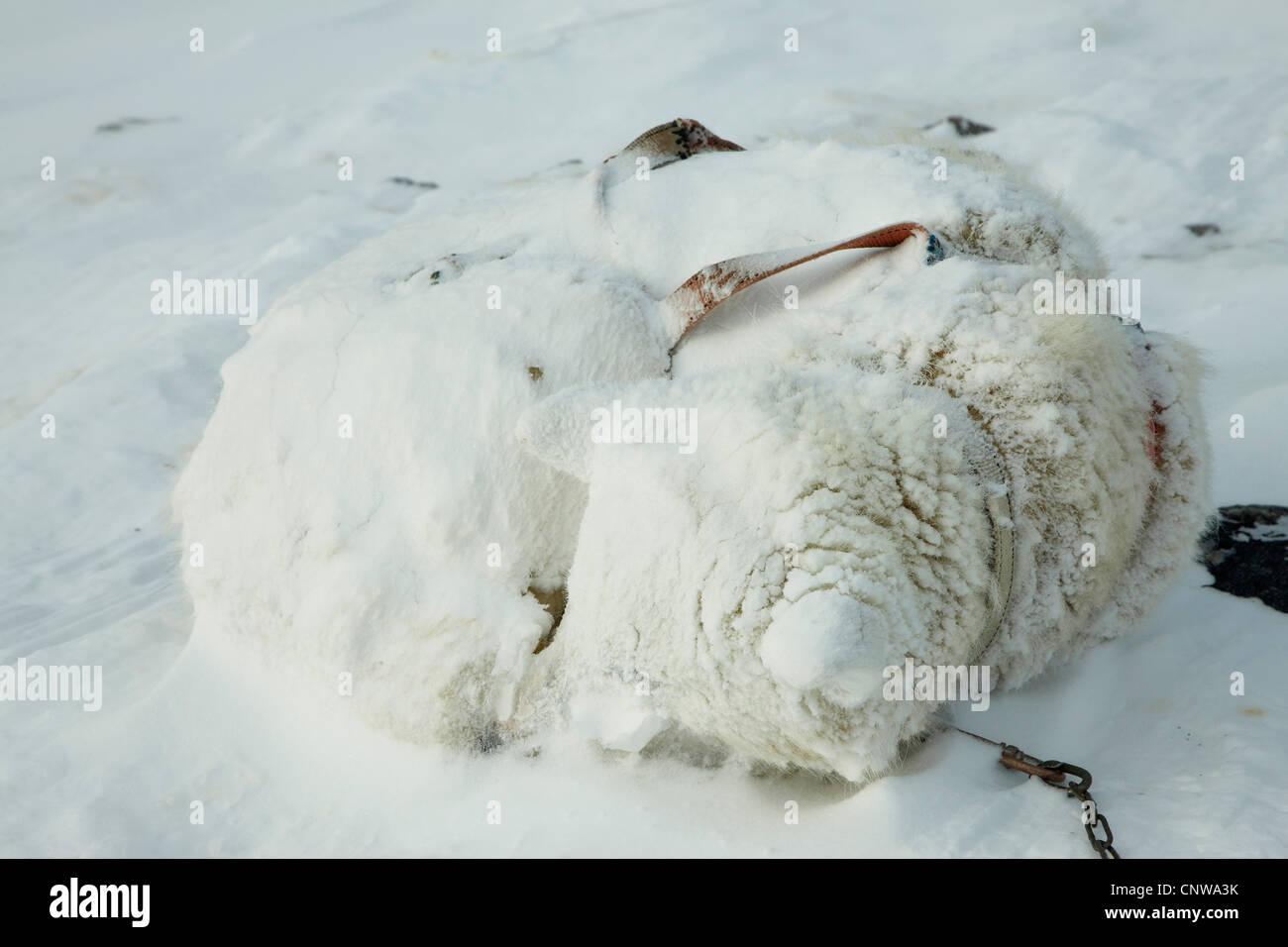 Greenland Dog (Canis lupus f. familiaris), coiled up in snow storm, Greenland, Ostgroenland, Tunu, Kalaallit Nunaat, Stock Photo