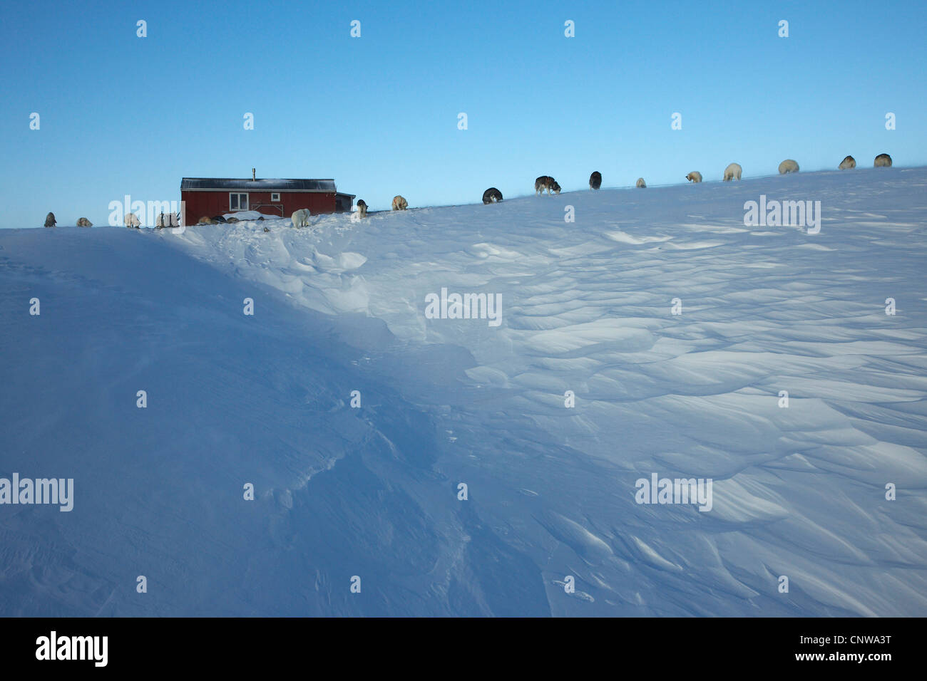 Greenland Dog (Canis lupus f. familiaris), row of slegde dogs in front of hunting lodge serving as polar bear watch - Stock Image