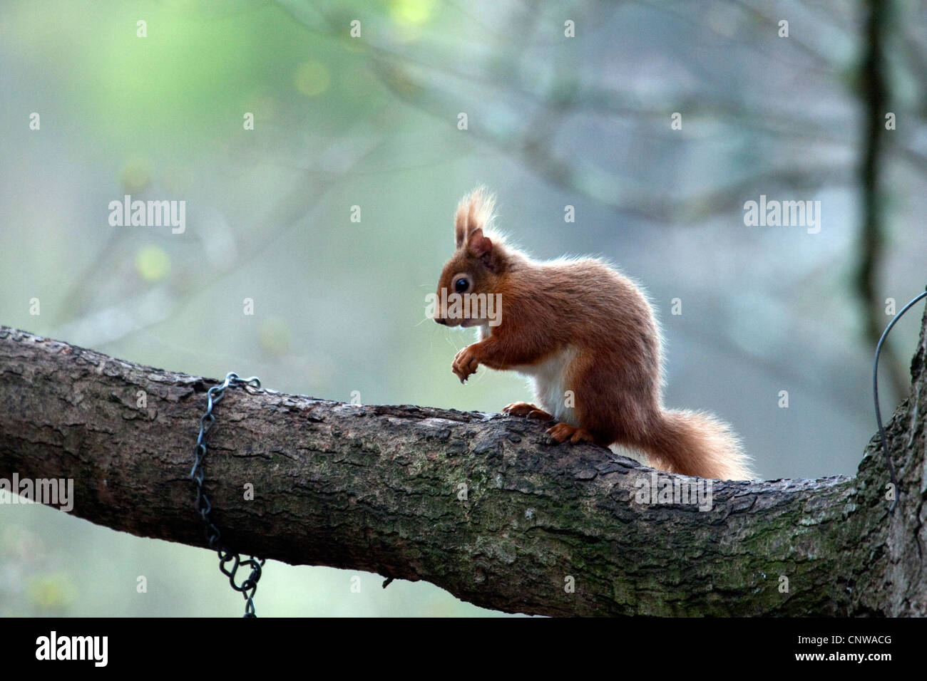 Brownsea Island Red Squirrel Stock Photos & Brownsea Island Red ...