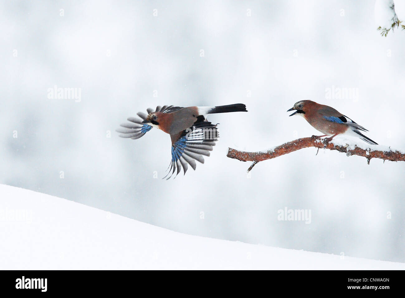 jay (Garrulus glandarius), two birds in winter, Norway, Namdal, Troendelag, Flatanger, Lauvsnes - Stock Image