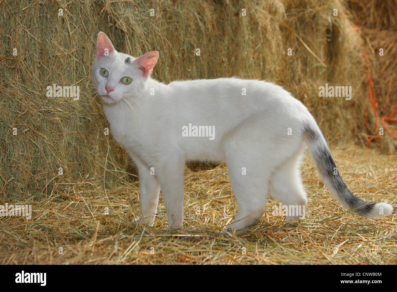 white cat with straw - Stock Image