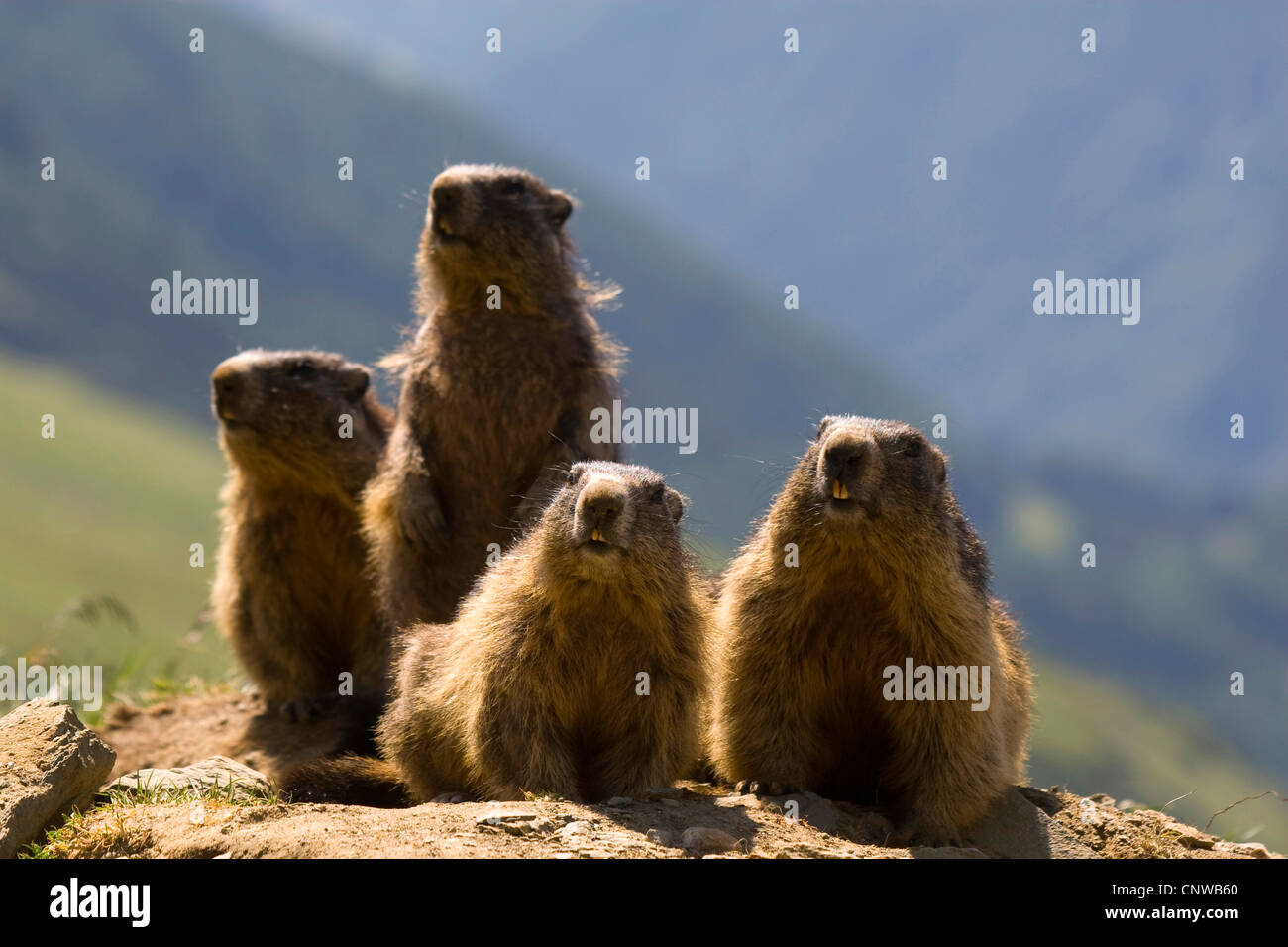 alpine marmot (Marmota marmota), group of four animals sitting in front of the den, Austria, Hohe Tauern National - Stock Image