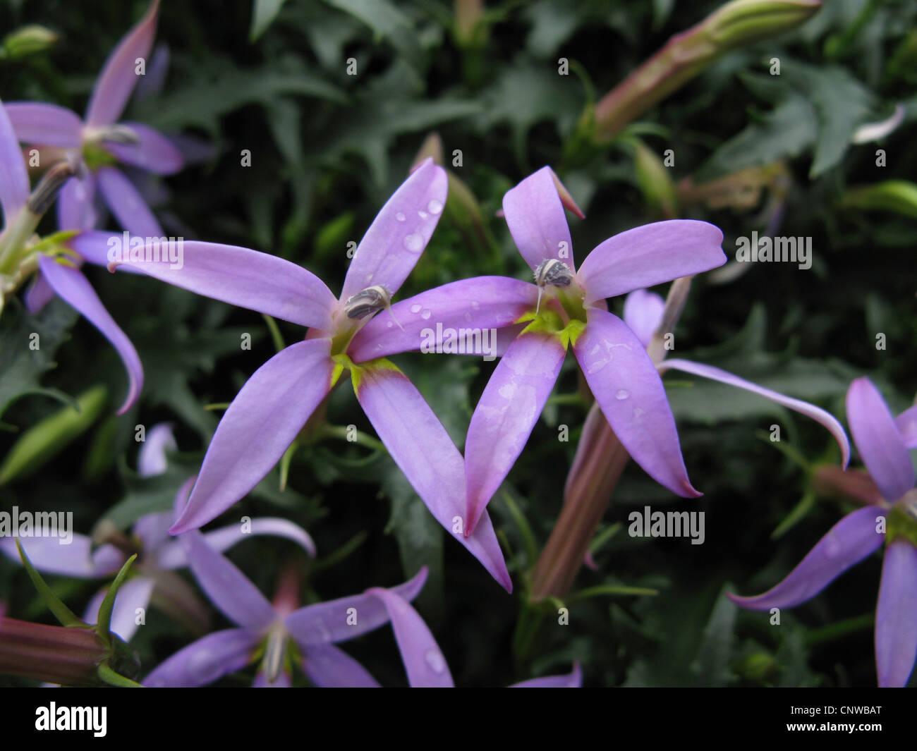 Launea axillaris, Blue Star (Launea axillaris, Isotoma axillaris ...
