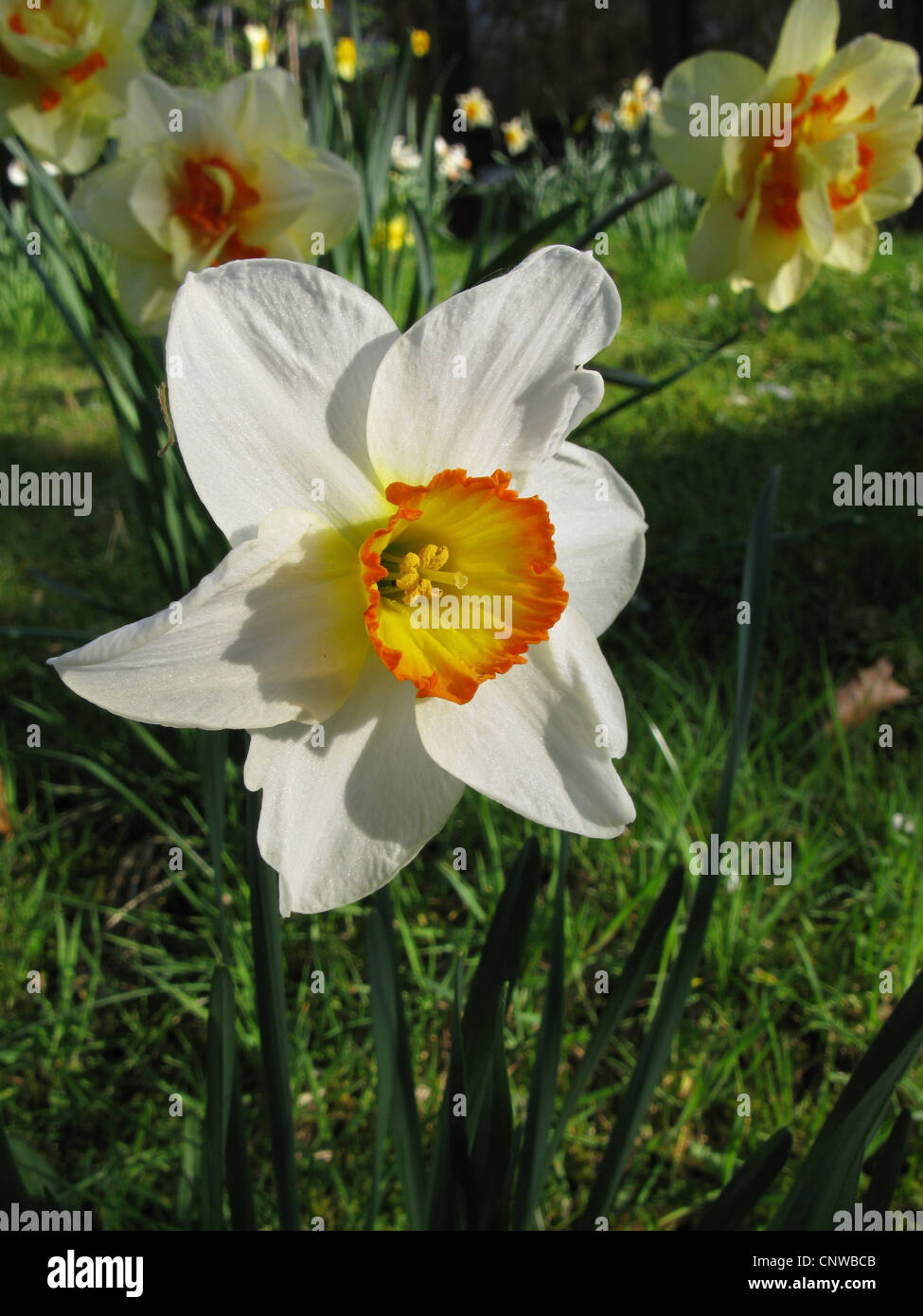 daffodil (Narcissus Flower Record, Narcissus 'Flower Record'), large-cupped daffodil, cultivar Flower Record - Stock Image