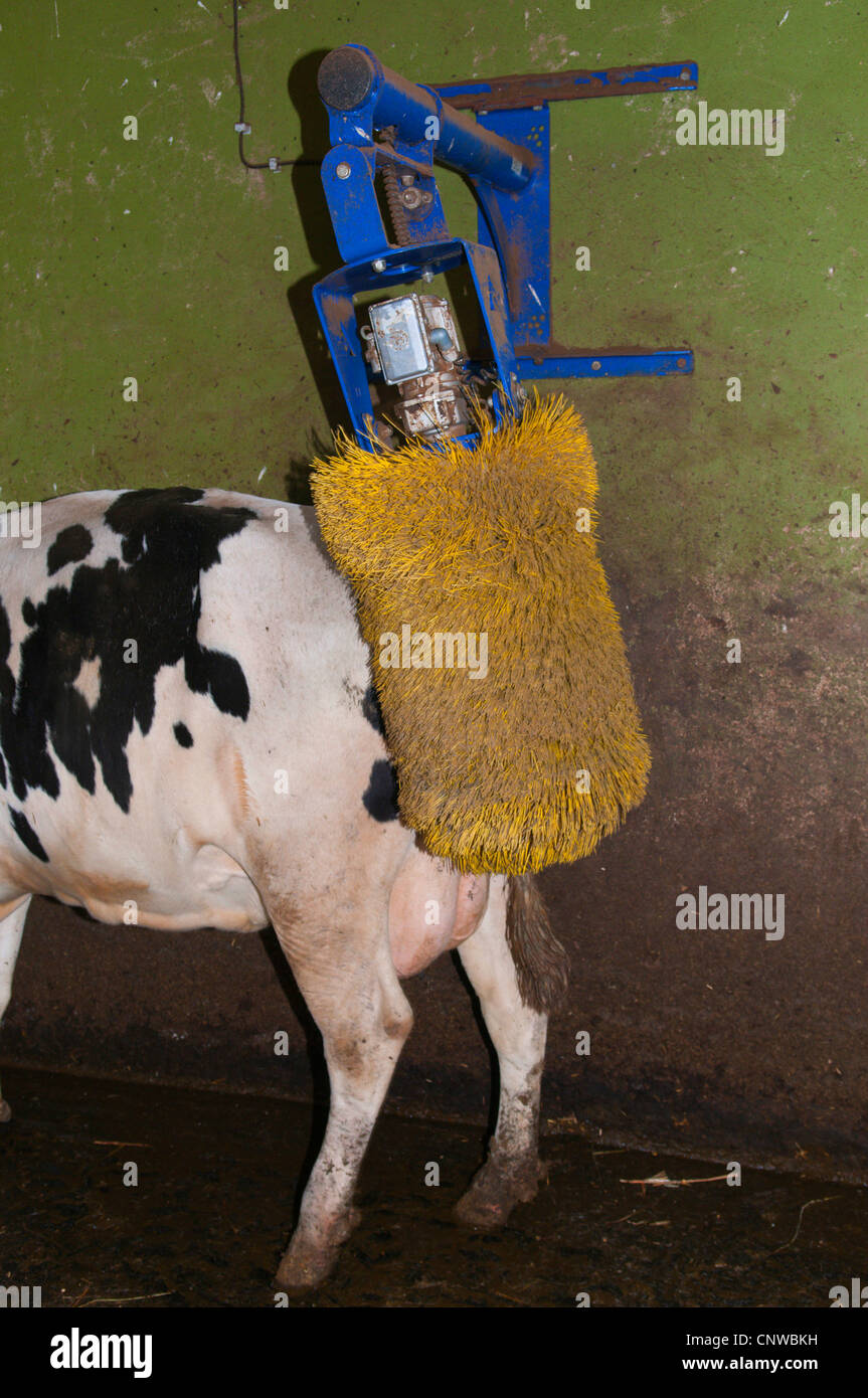 Cow Brush Stock Photos & Cow Brush Stock Images - Alamy
