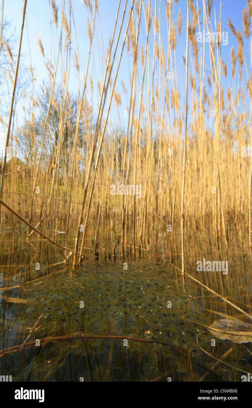 common frog, grass frog (Rana temporaria), spawn clumps at the surface, Germany - Stock Image