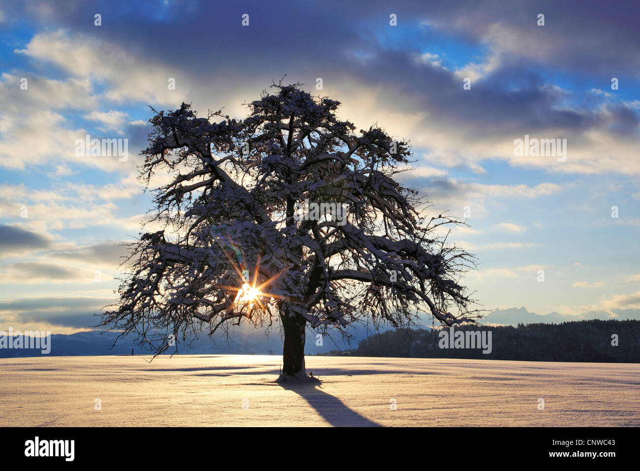 Wintry apple tree stock photos wintry apple tree stock for Domestica in svizzera