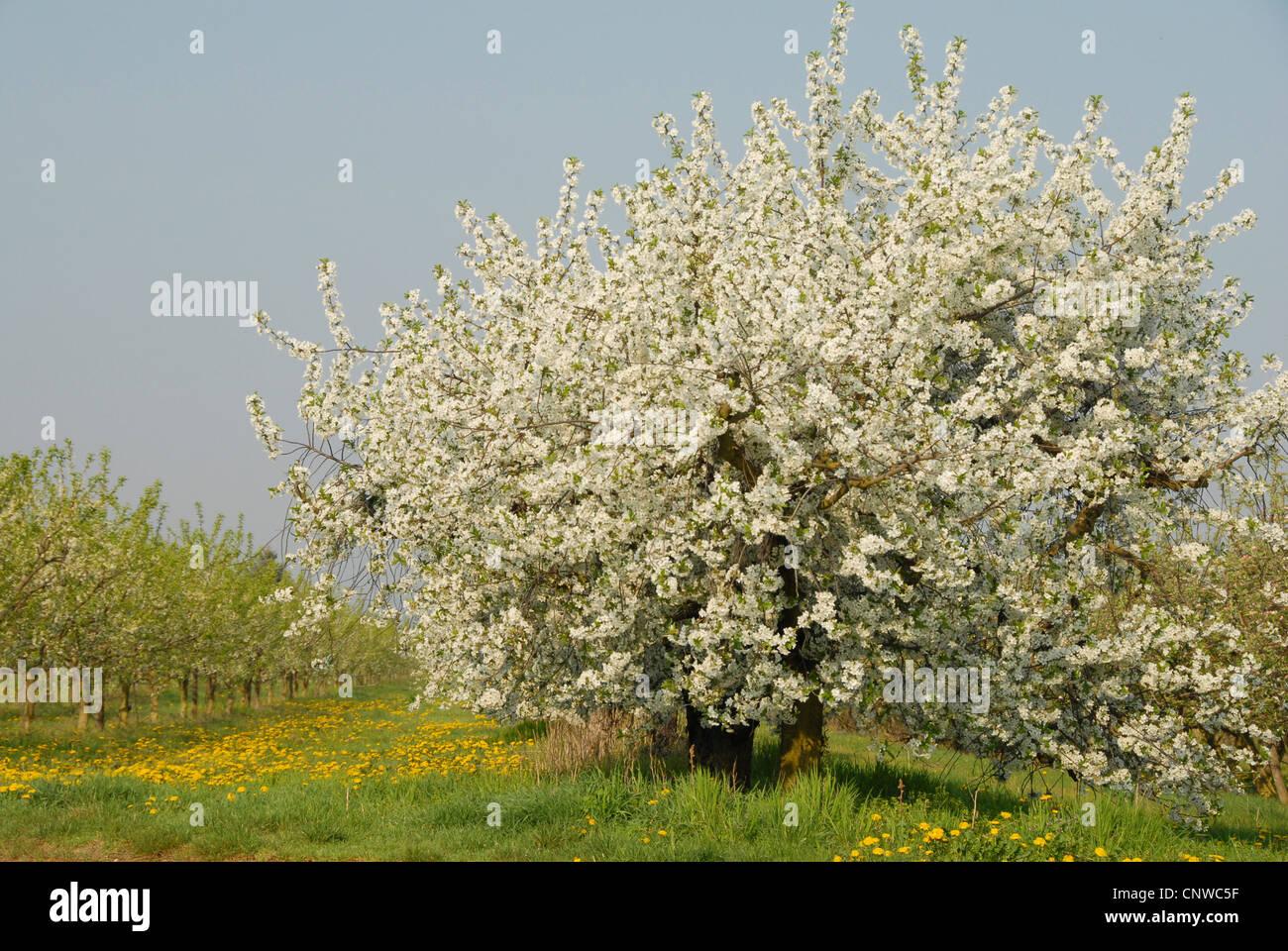 Dwarf Cherry Tree Stock Photos Dwarf Cherry Tree Stock Images