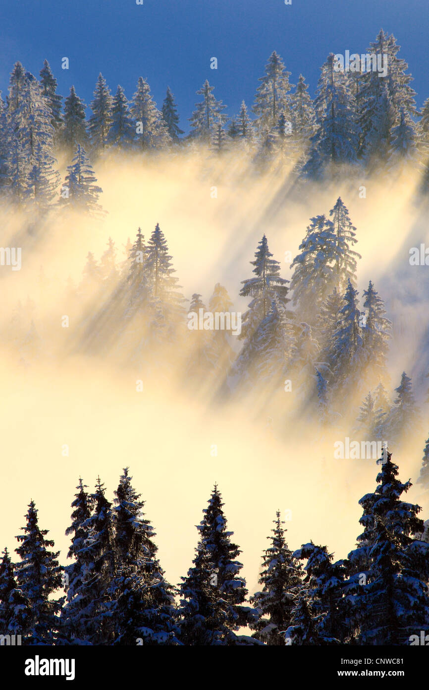snow-covered foggy conifer forest in the sunshine, Switzerland, Berner Voralpen, Gurnigel - Stock Image