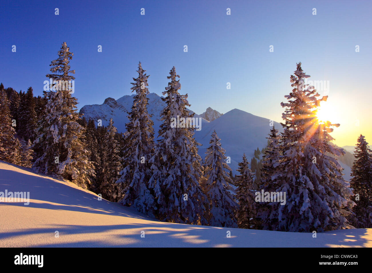 snow-covered conifer forest in the sunset with mountain range in the background, Switzerland, Gurnigel - Stock Image