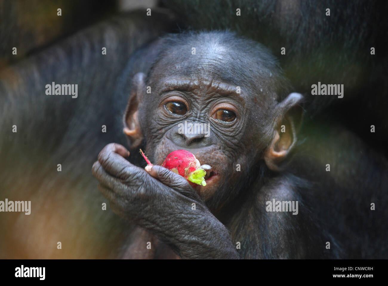 bonobo, pygmy chimpanzee (Pan paniscus), young bonobo eating a red fruit - Stock Image