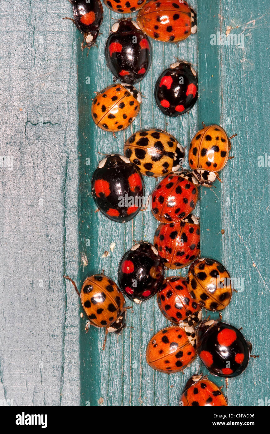multicoloured Asian beetle (Harmonia axyridis), heaps of invividuals in autumn congregating at a frost free place, Stock Photo
