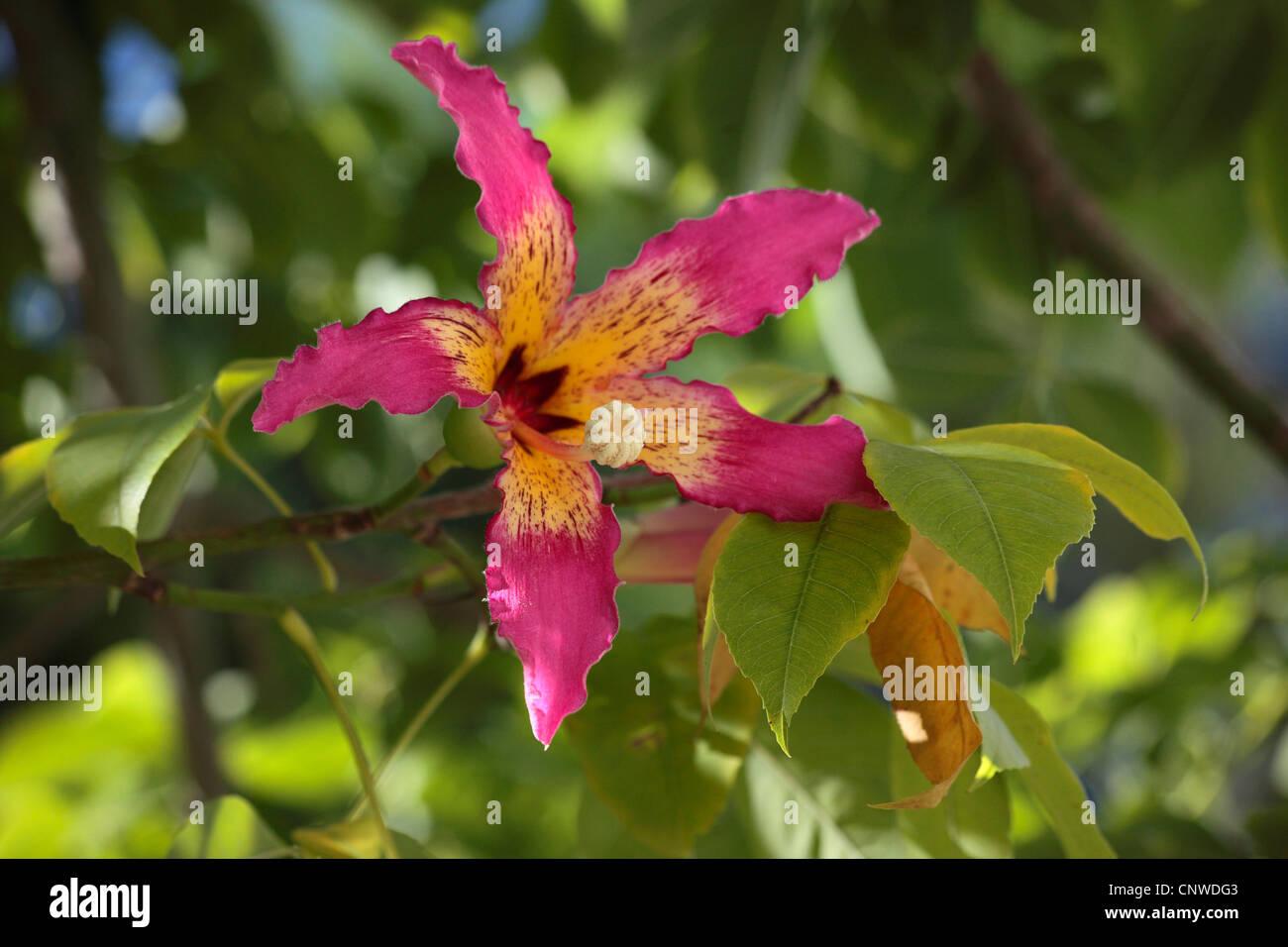 silk floss tree, kapok, floss silk tree, ceiba del brasil (Chorisia speciosa), flower, Turkey, Antalya Stock Photo