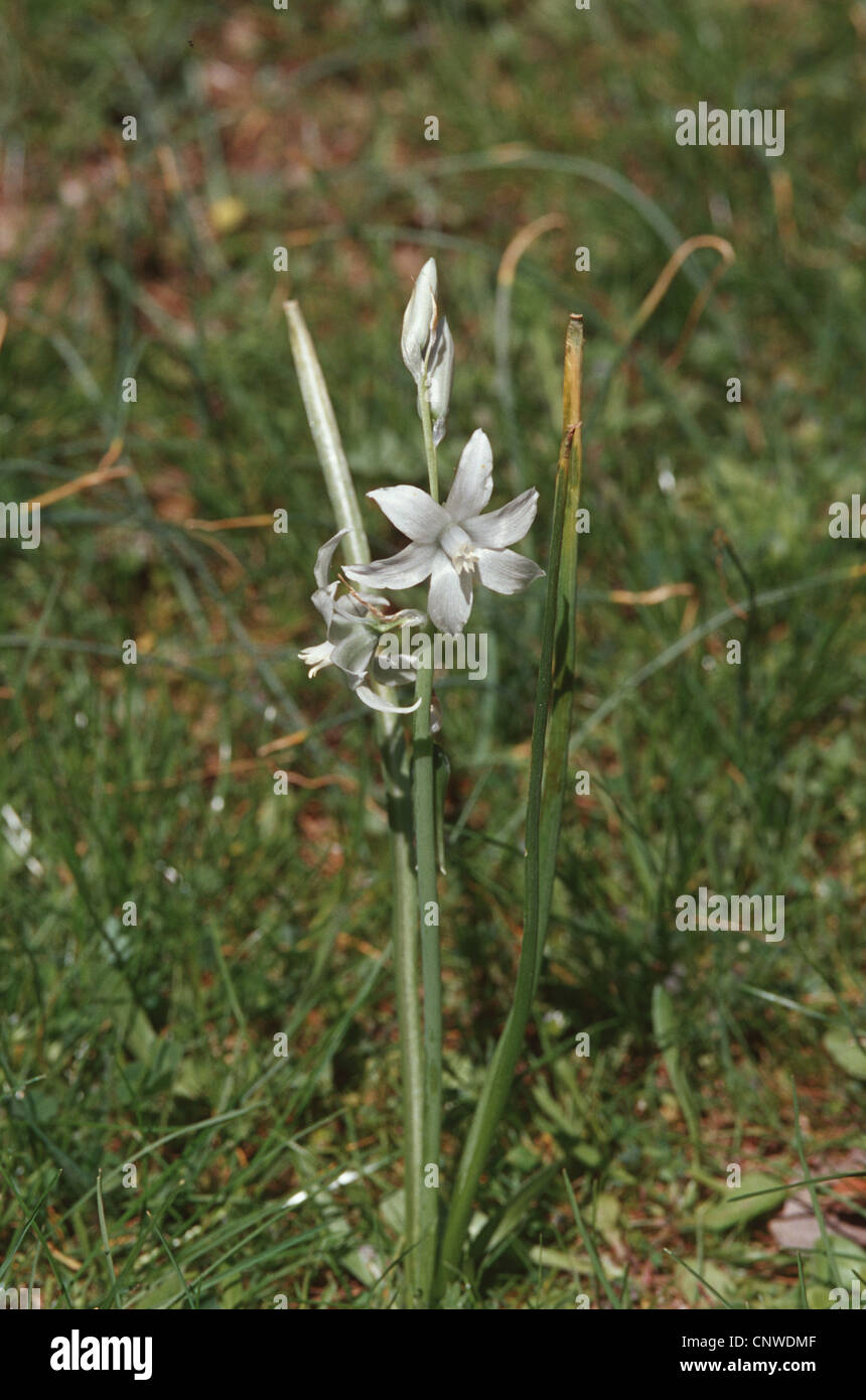 drooping star-of-bethlehem (Ornithogalum nutans), blooming, wild form Stock Photo