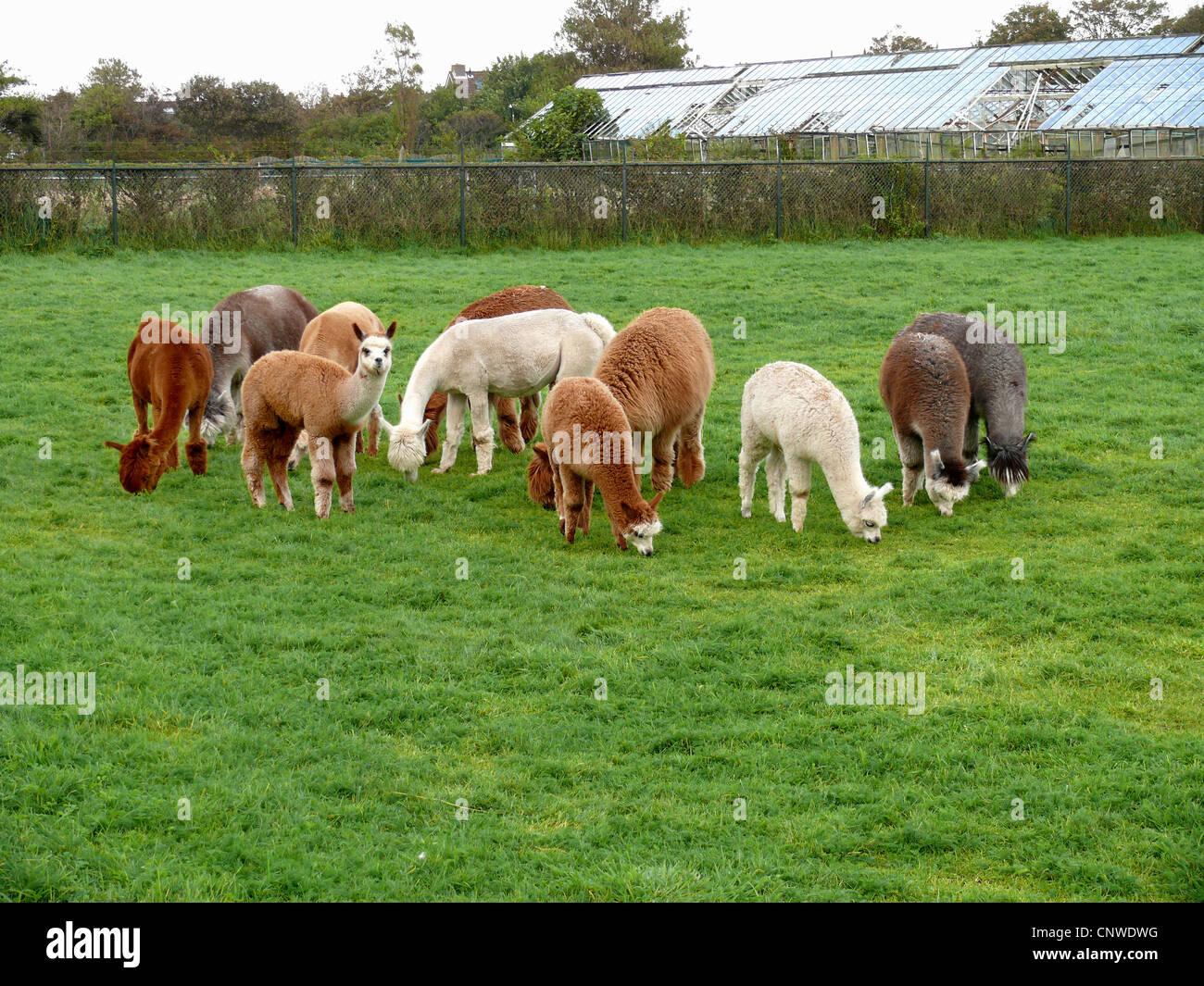 alpaca (Lama pacos), grazing herd - Stock Image