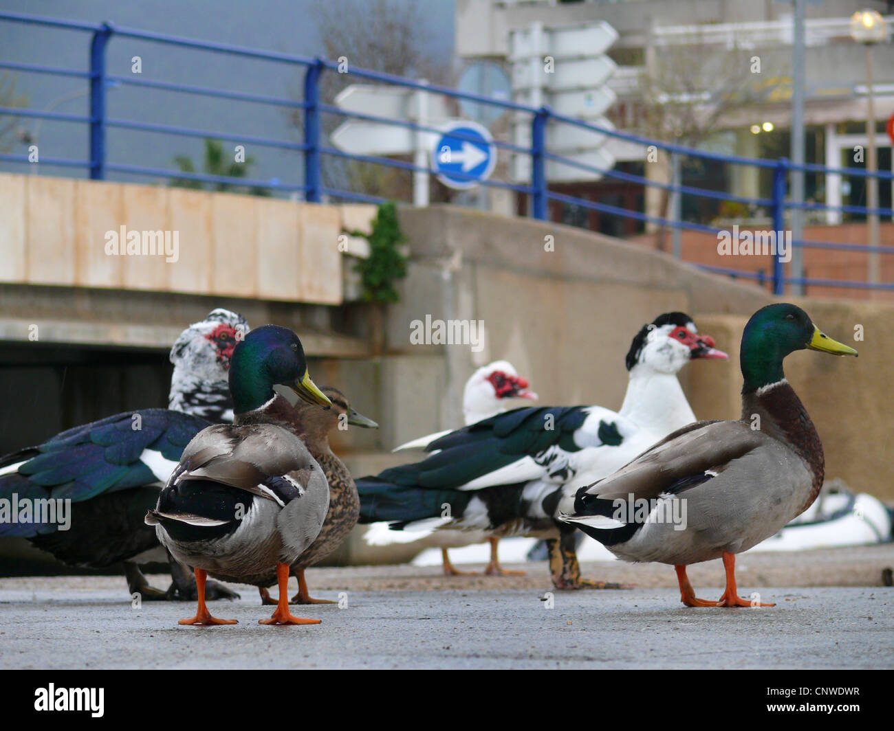 mallard (Anas platyrhynchos), group of bird in the city standing on asphalt looking in the direction pointed out Stock Photo