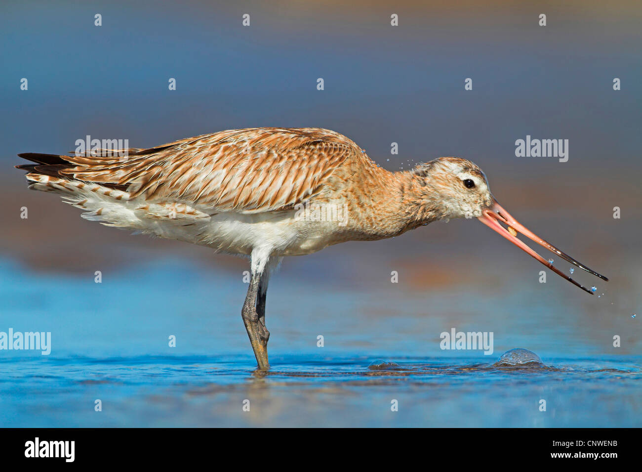 black-tailed godwit (Limosa limosa), on the feed on the waterfront, Oman - Stock Image