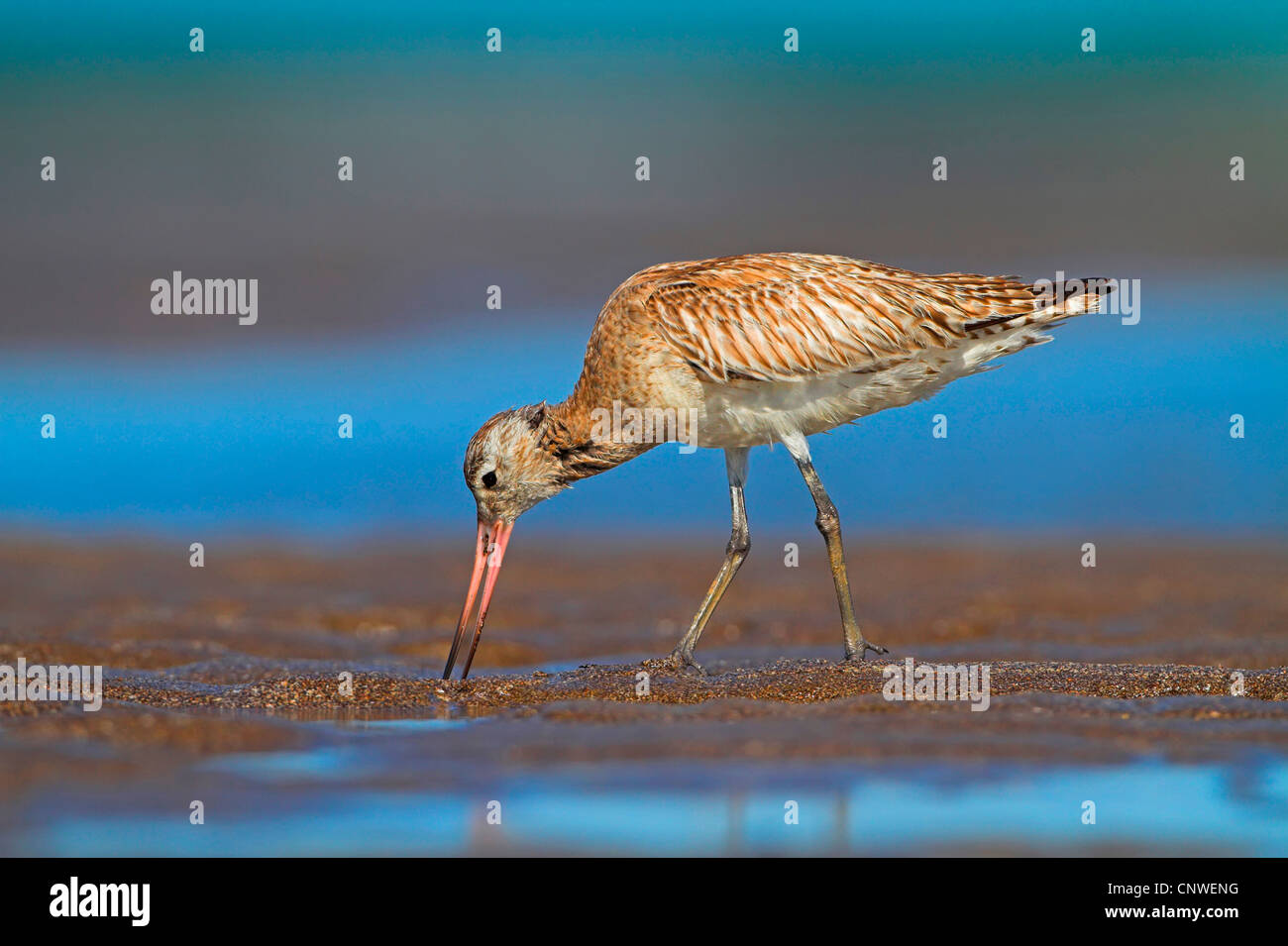 black-tailed godwit (Limosa limosa), on the feed on the waterfront sticking the beak into the sand, Oman - Stock Image
