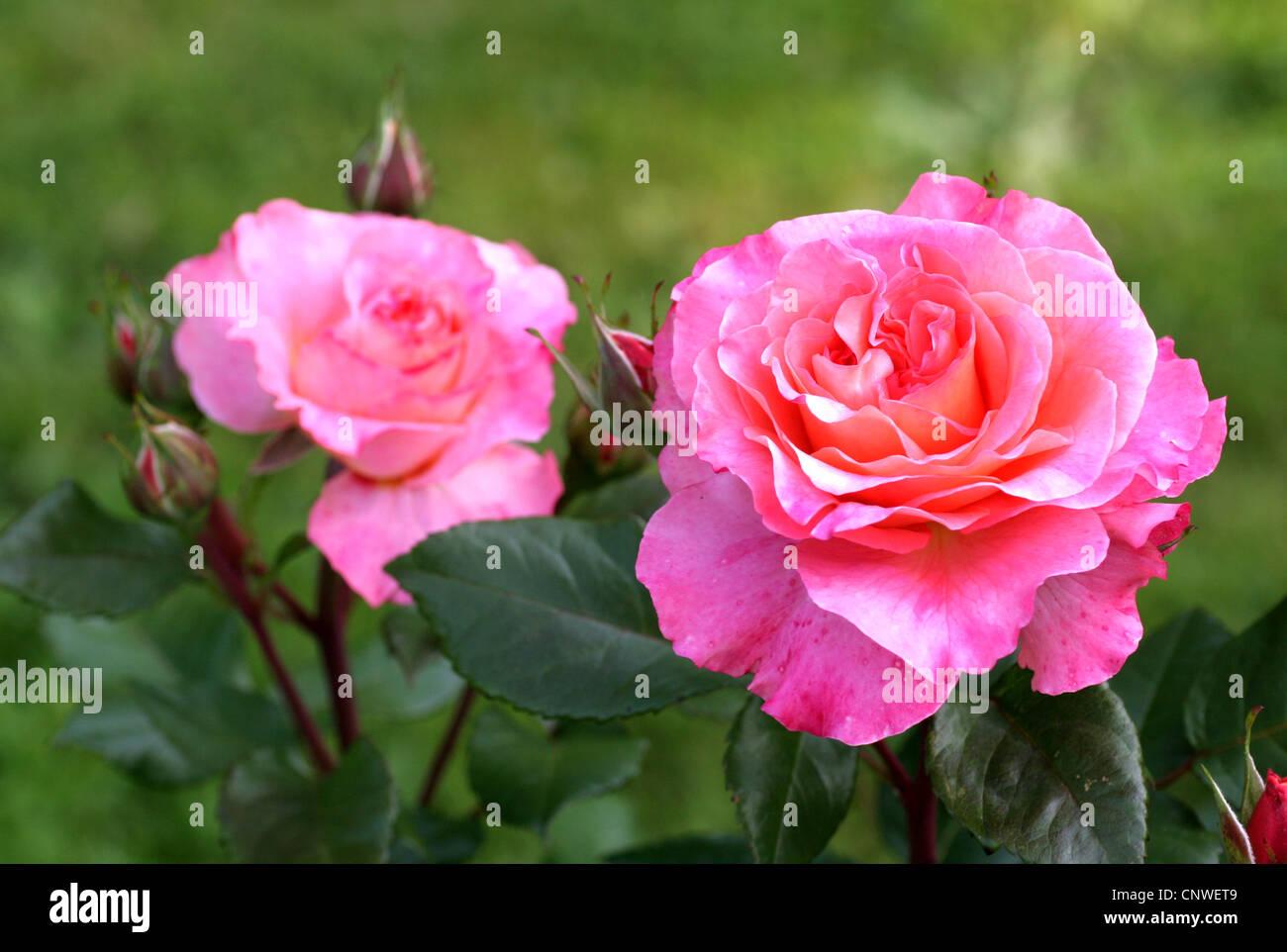 ornamental rose rosa 39 augusta luise 39 rosa augusta luise. Black Bedroom Furniture Sets. Home Design Ideas