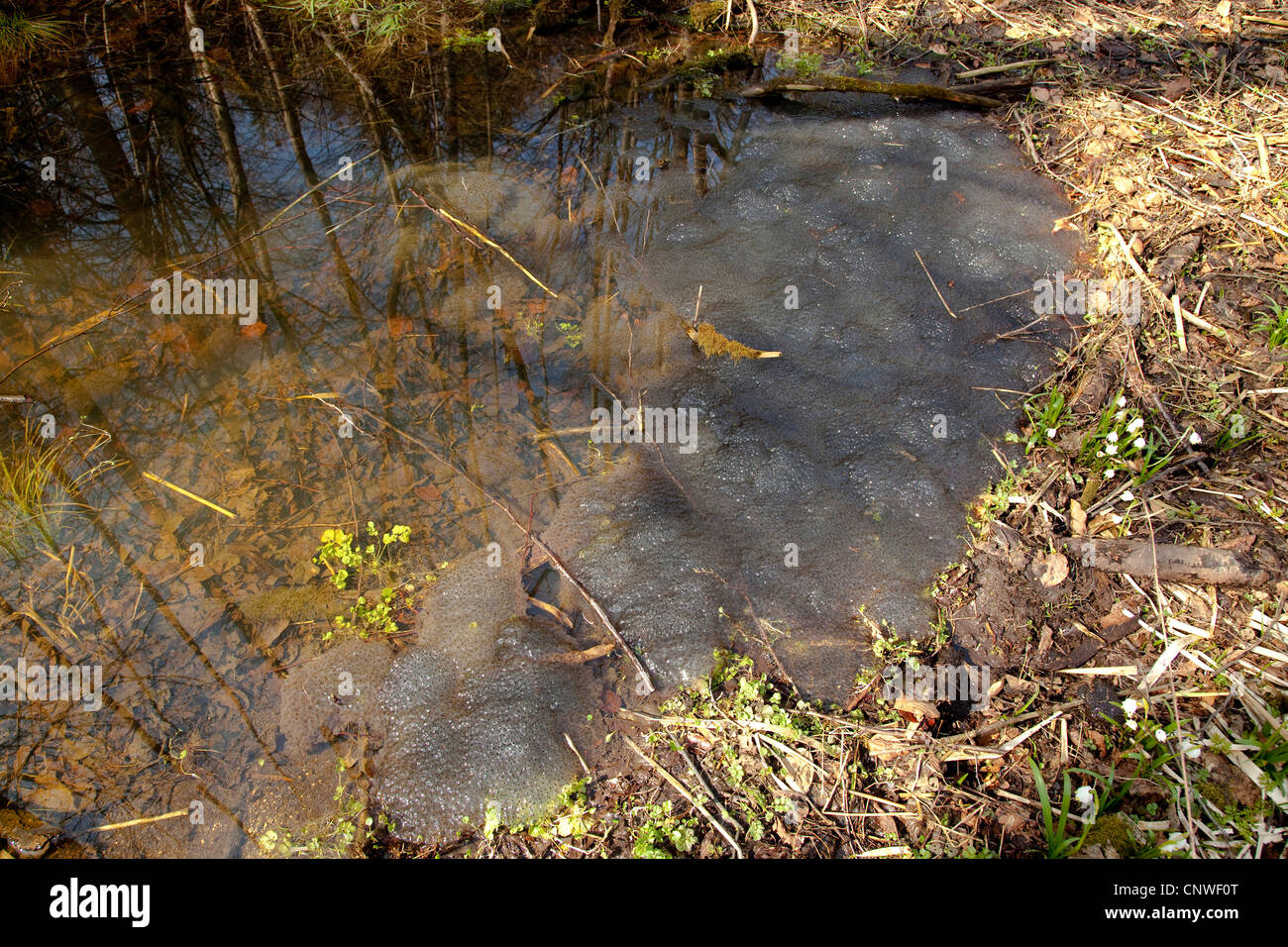 common frog, grass frog (Rana temporaria), ca. one hundred spawn clumps in the pond of a floodplain forest, Germany, - Stock Image