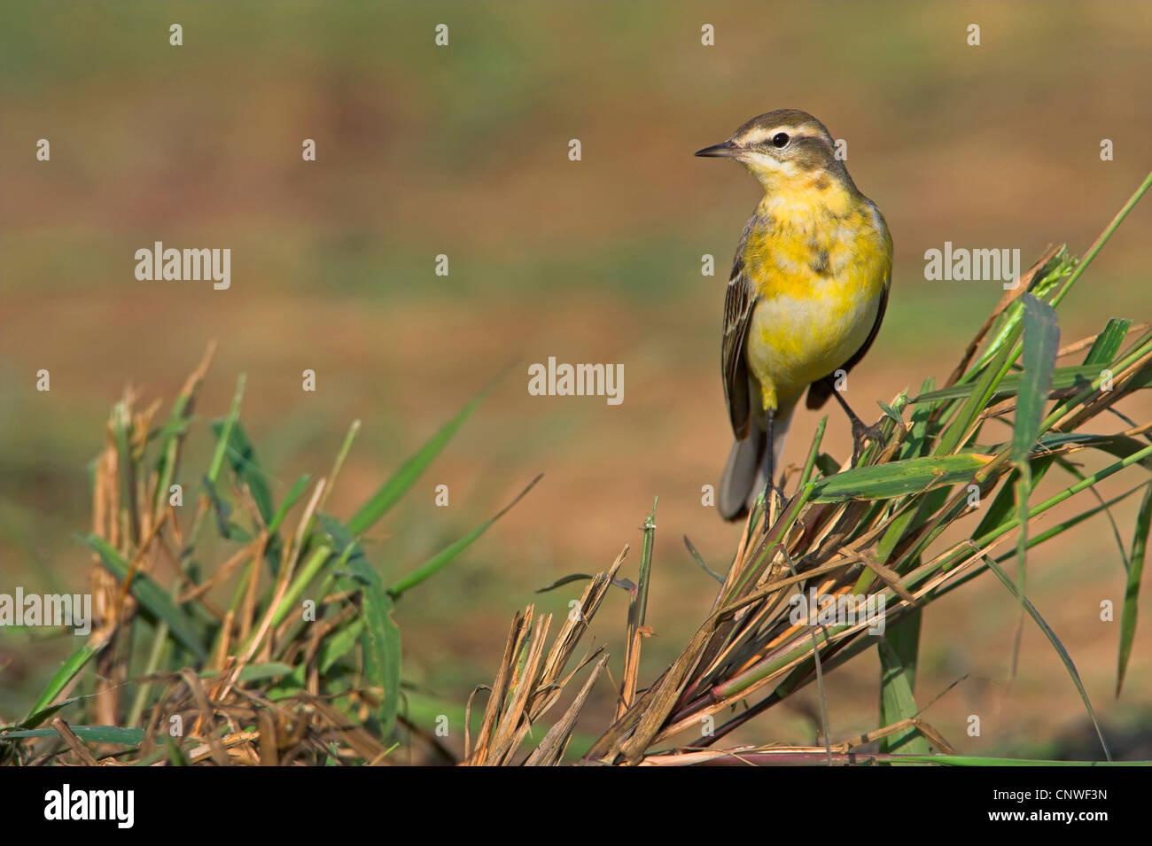 yellow wagtail (Motacilla flava), sitting in grass, Oman - Stock Image