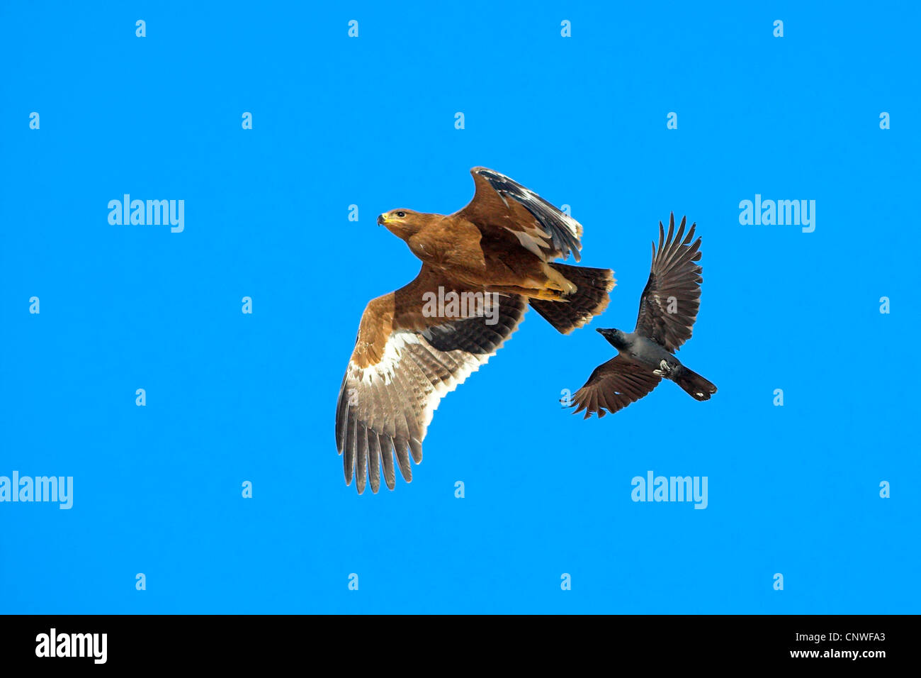 steppe eagle (Aquila nipalensis, Aquila rapax nipalensis), being attacked by a house crow in the air, Oman - Stock Image