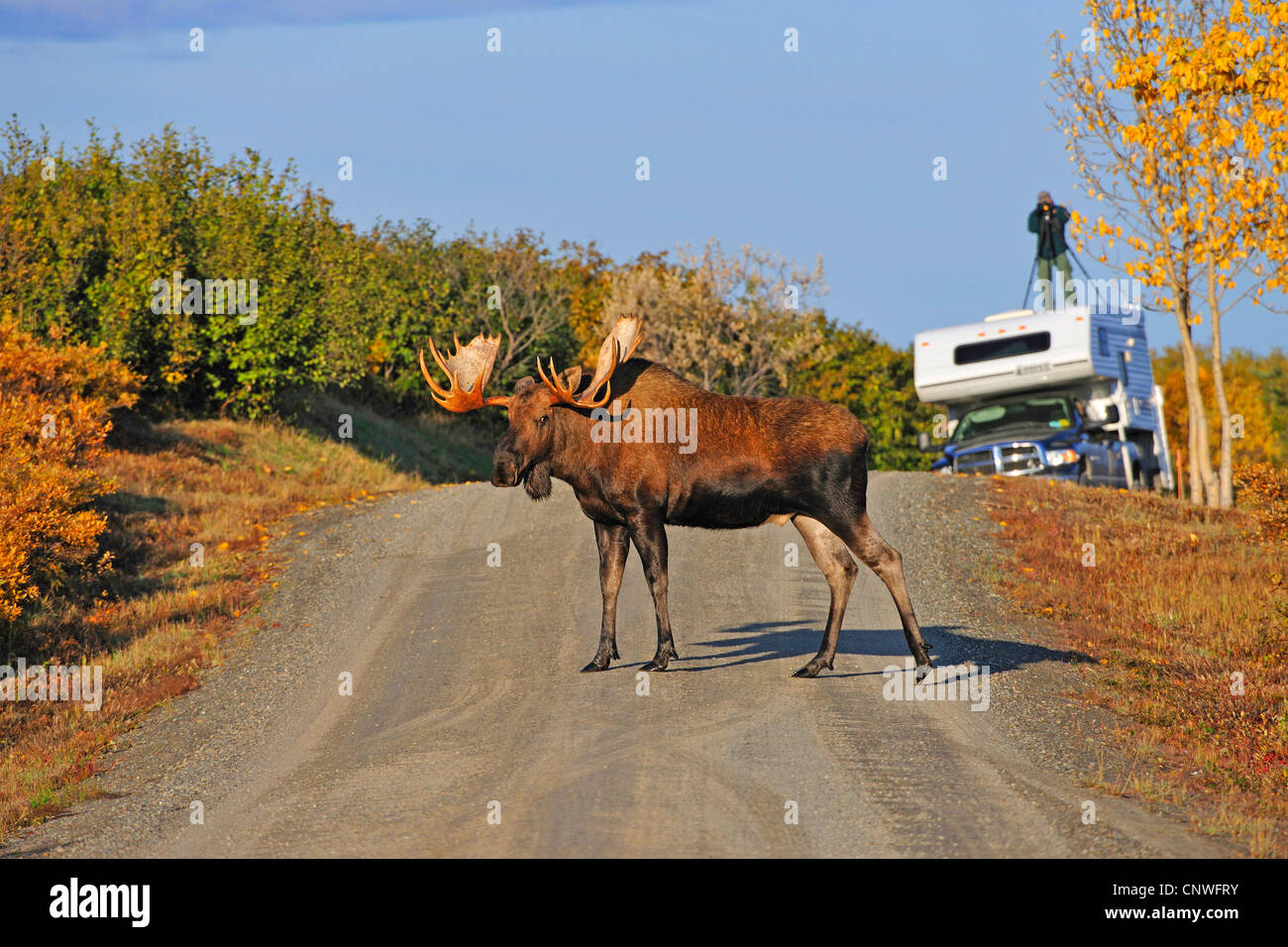 Alaska moose, Tundra moose, Yukon moose (Alces alces gigas), male crossing a street fotographer in the background, - Stock Image