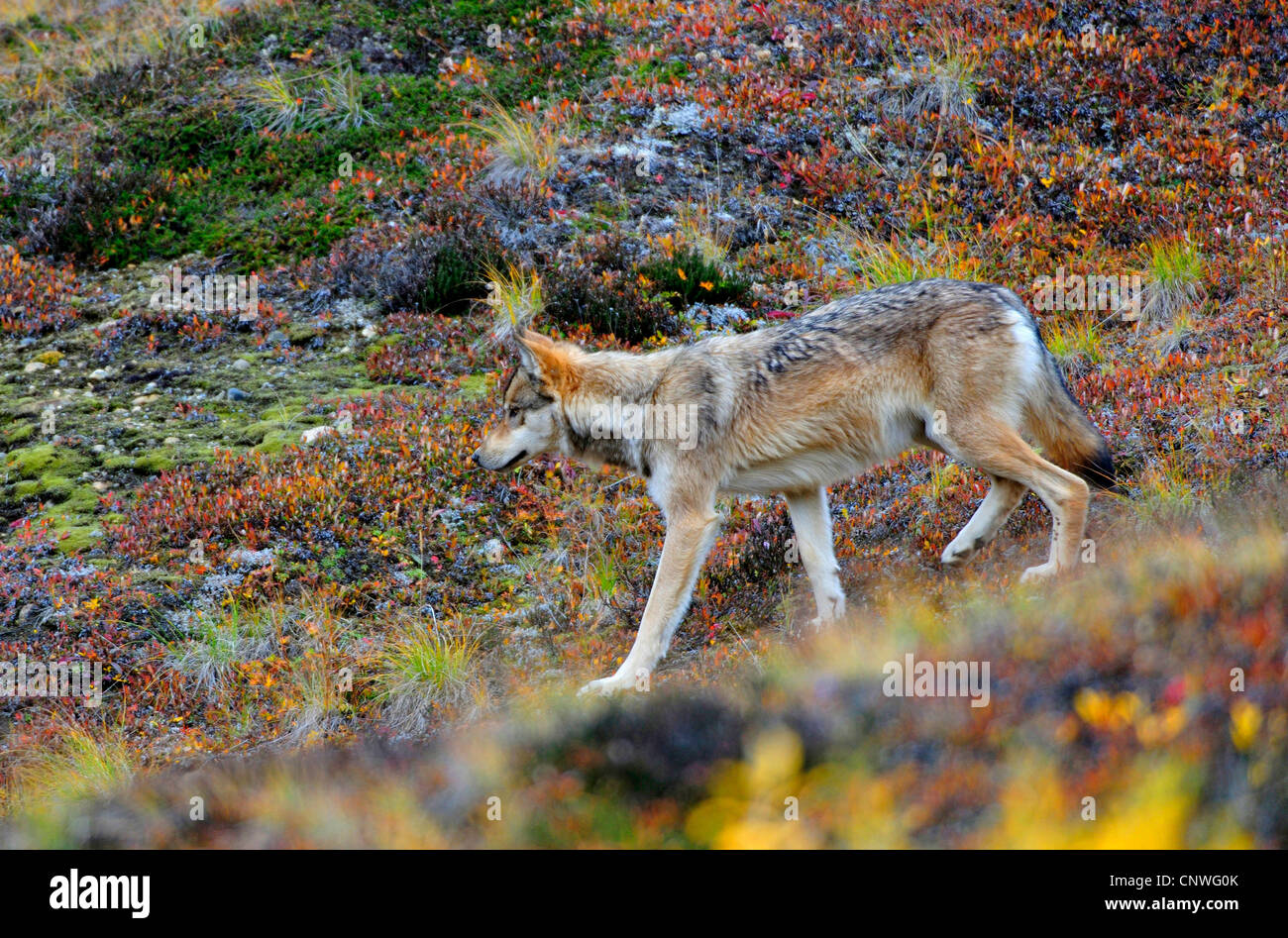 Mackenzie Valley Wolf, Rocky Mountain Wolf, Alaskan Tundra Wolf or Canadian Timber Wolf (Canis lupus occidentalis), - Stock Image