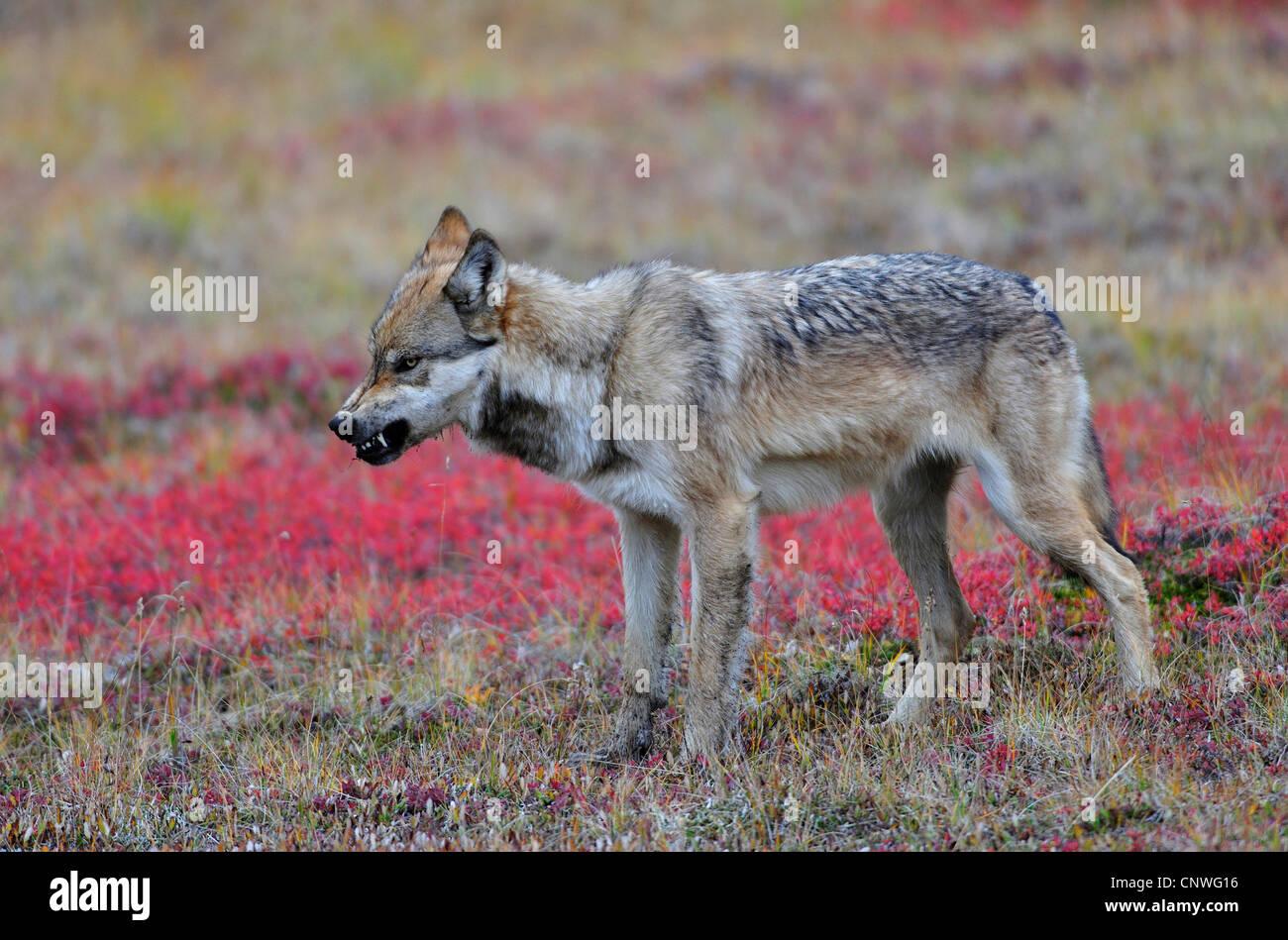 Mackenzie valley wolf - photo#40