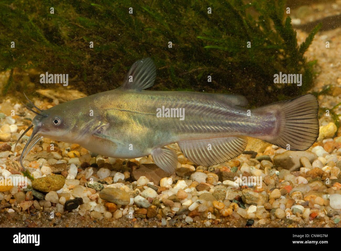 North American freshwater catfishes (Ictaluridae), close to gravel ground - Stock Image