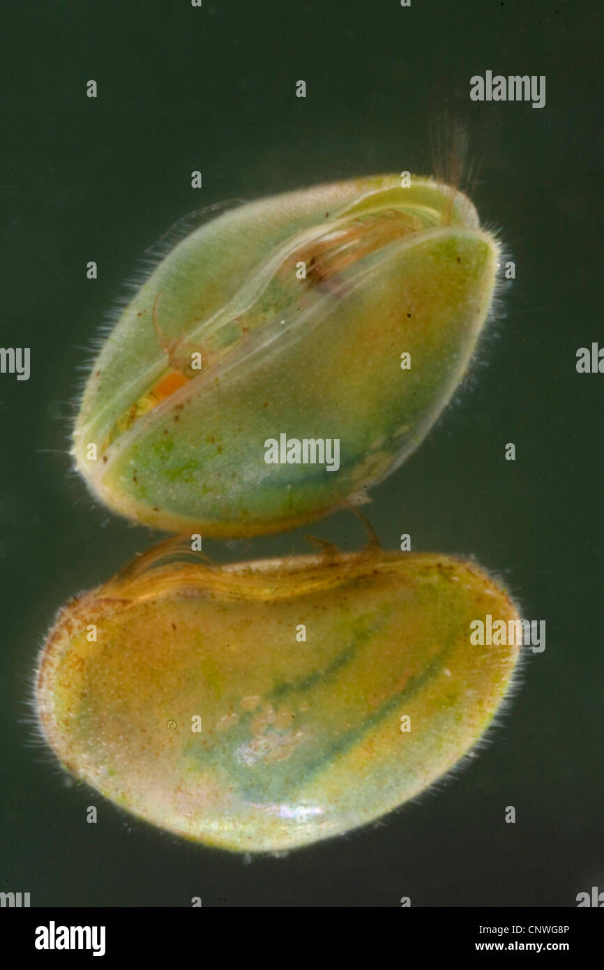ostracods (shell-covered crustaceans), seed shrimps (Ostracoda), with very hairy shells, Germany, Bavaria - Stock Image