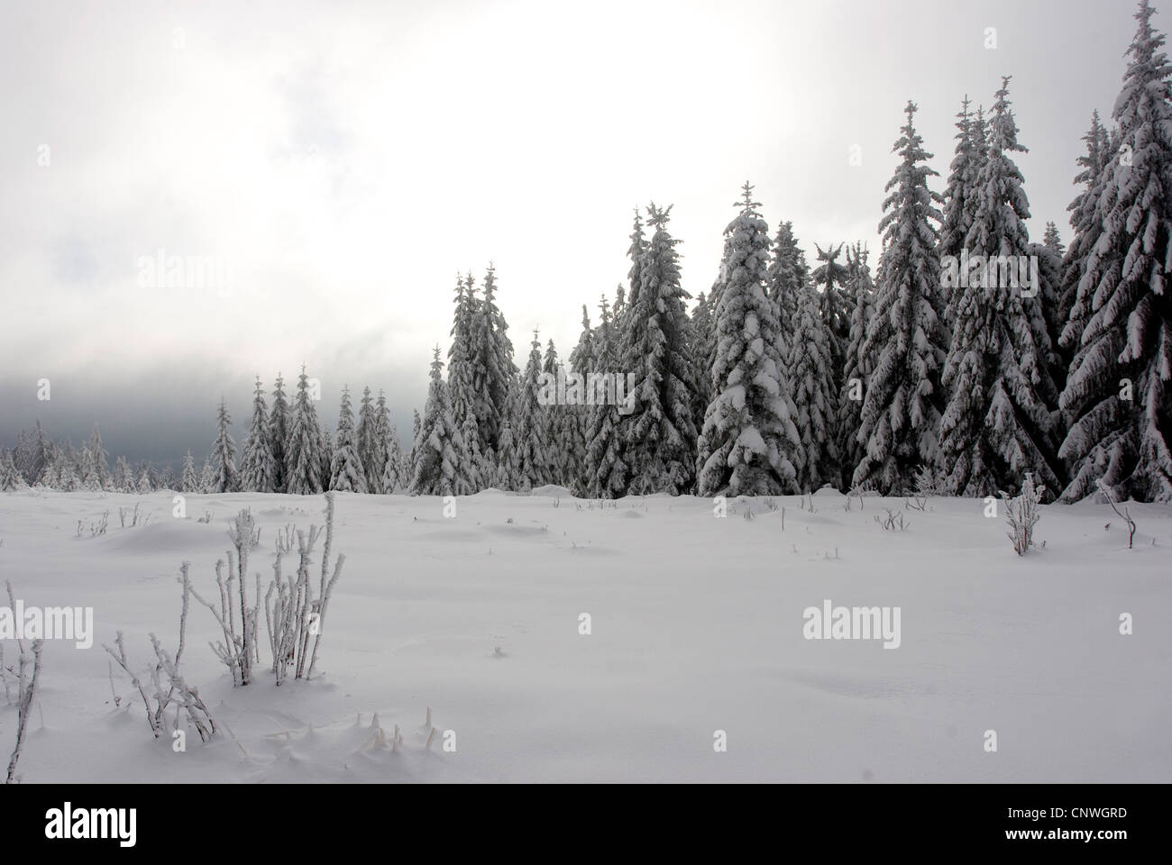 winter landscape with spruces in the Black Forest, Germany, Baden-Wuerttemberg, Black Forest - Stock Image