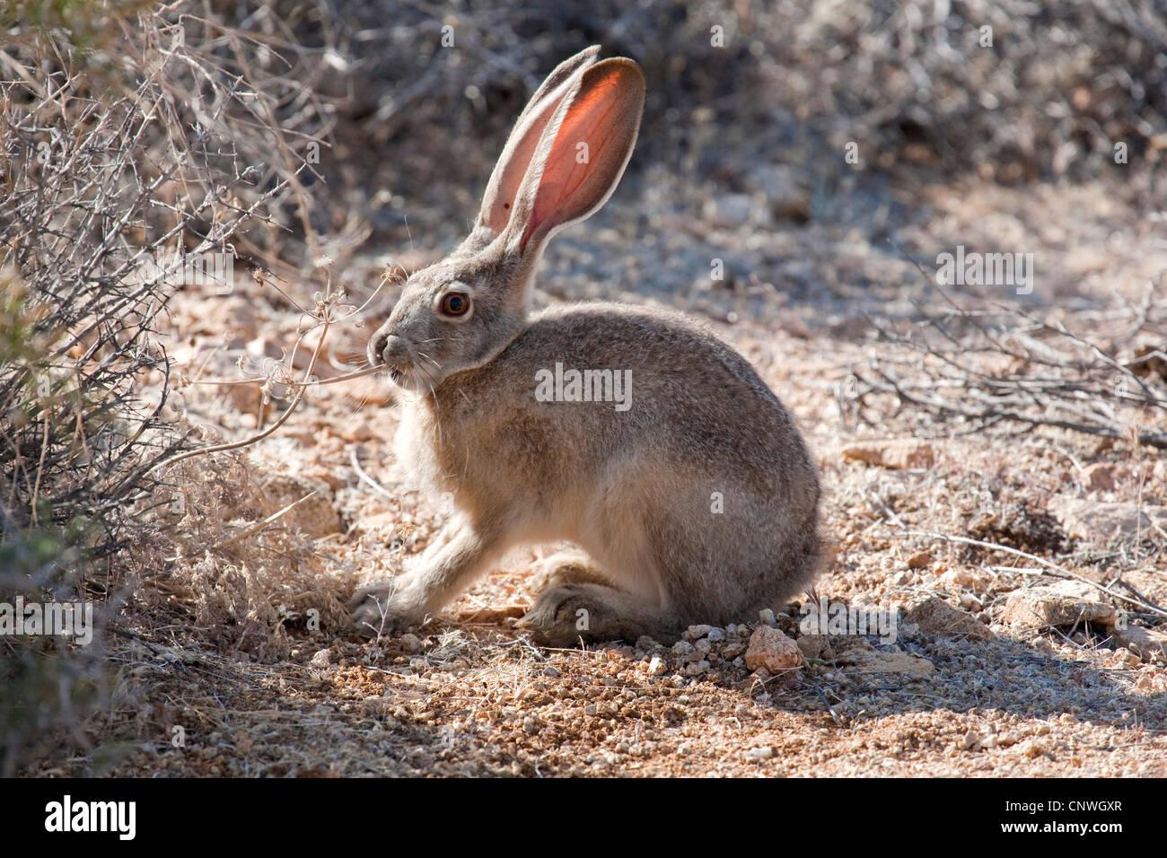 Jack Rabbit Usa >> Black Tailed Jack Rabbit Lepus Californicus Feeding Usa Stock
