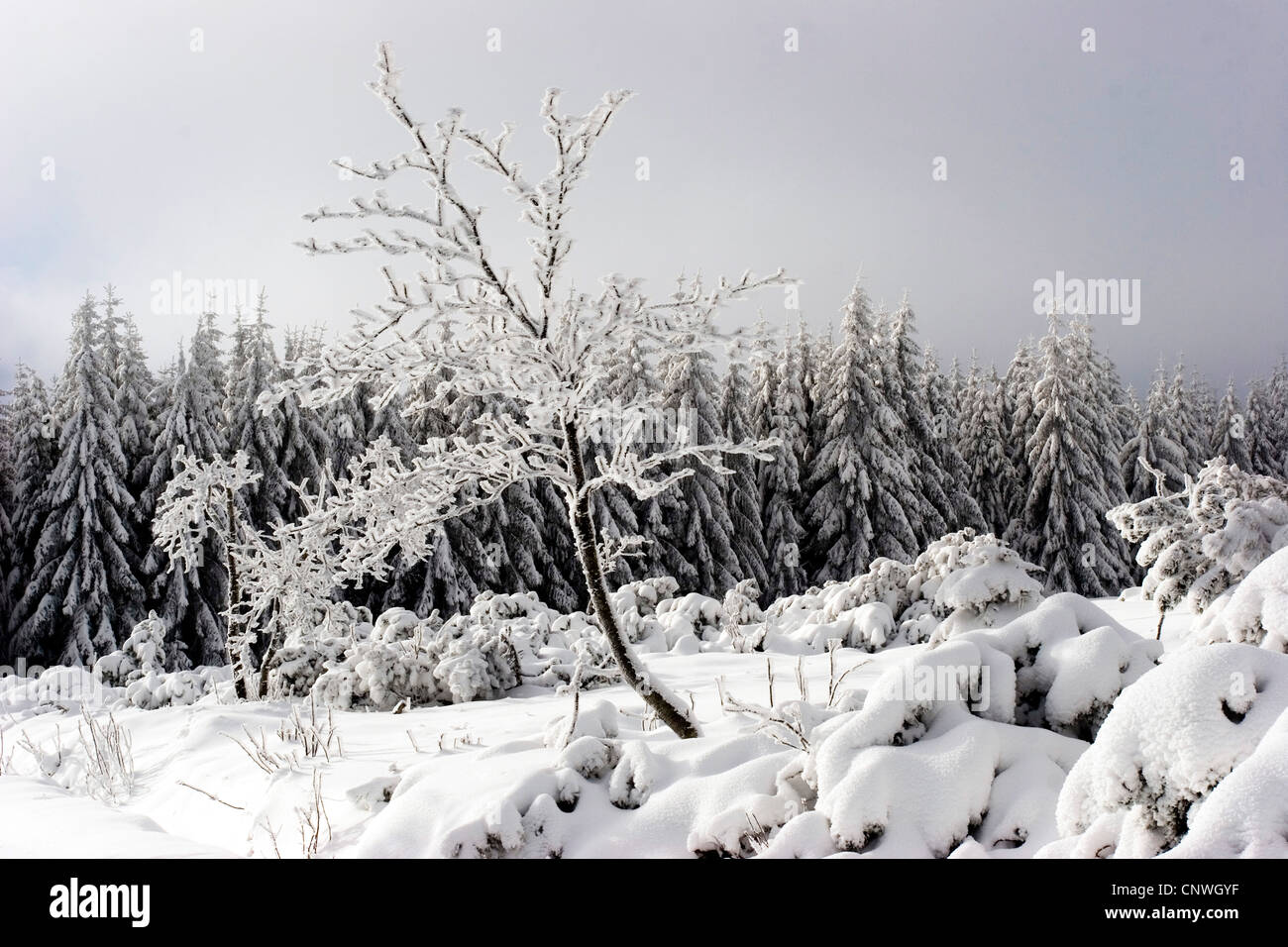 winter landscape with snow-covered tree in Bannwald nature reserve, Germany, Baden-Wuerttemberg, Black Forest, NSG Stock Photo