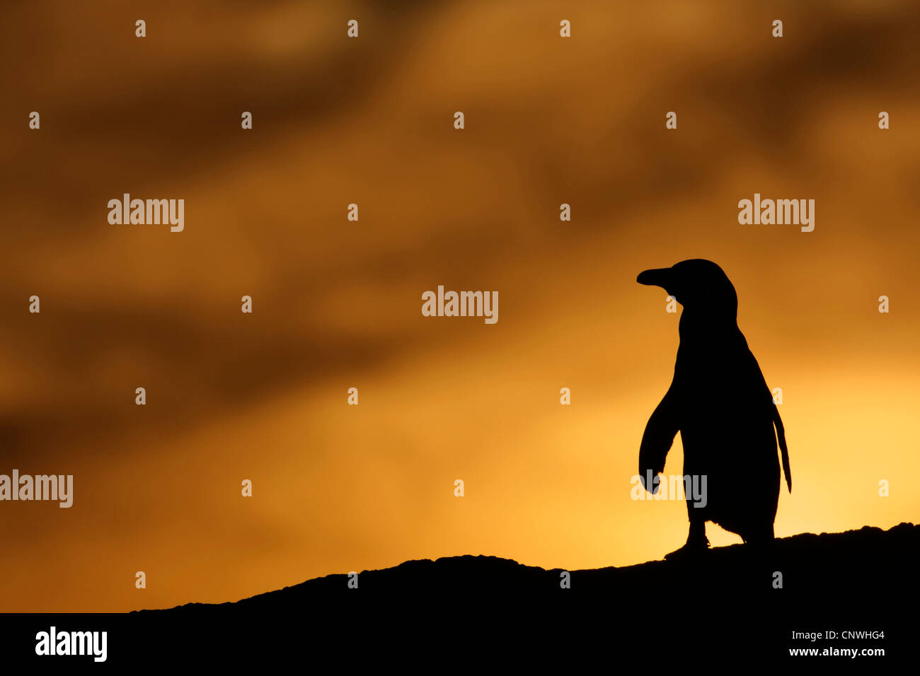 jackass penguin, African penguin, black-footed penguin (Spheniscus demersus), at sunset, South Africa, West Cape, - Stock Image