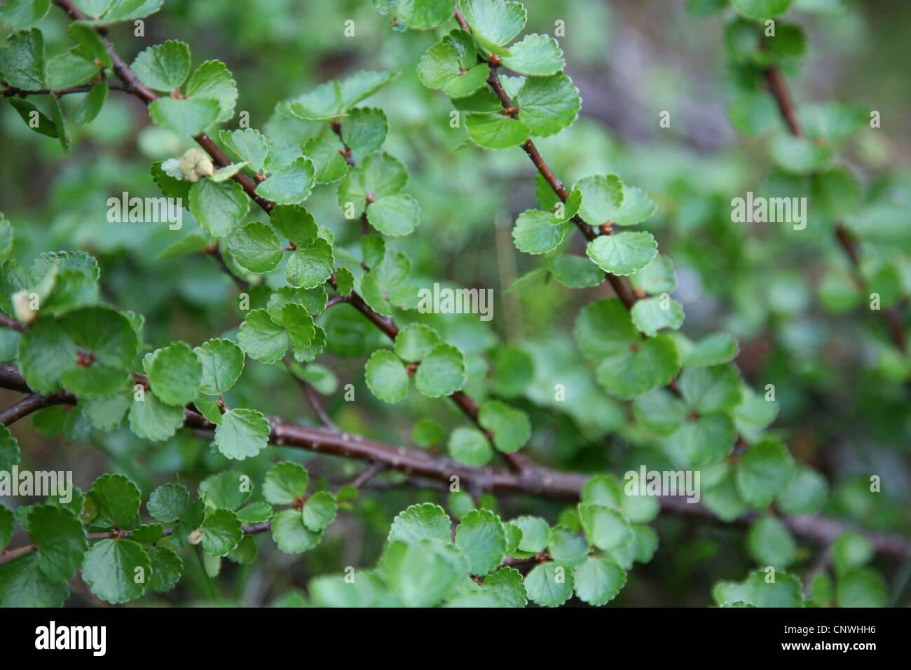 Dwarf Birch (Betula nana) in the Khibiny Mountains of the Kola Peninsula, Russia. - Stock Image
