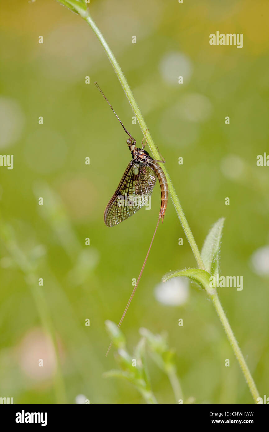 mayfly (Ephemera danica), sitting at a stem, Germany, Bavaria, Staffelsee - Stock Image