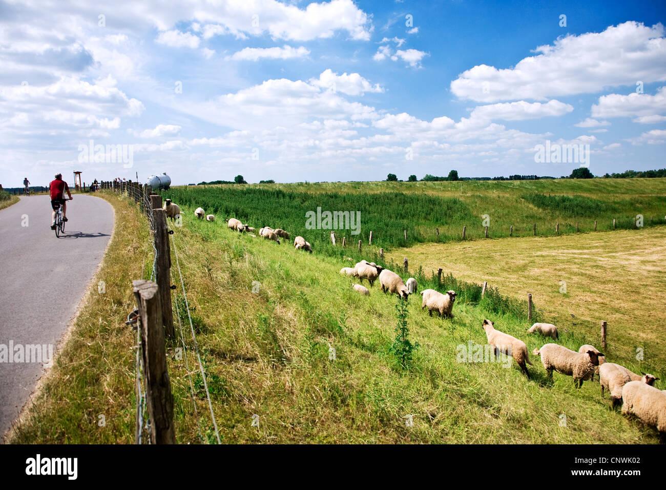 bikers on a dyke with grazing sheep at Bislicher Insel in Lower Rhine region, Niederrhein, Germany, North Rhine - Stock Image