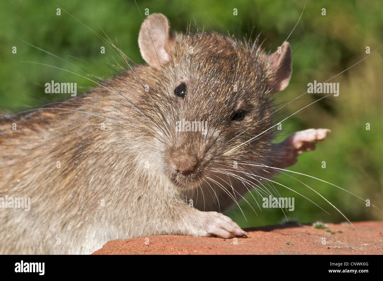 RAT Brown Rat (Rattus norvegicus) A fine portrait of the most common rat foundi n the UK. They produce about forty - Stock Image