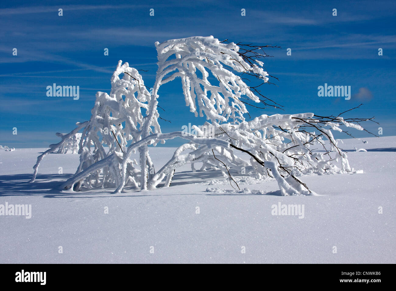 snow-covered plain with single bushes at the Schwarzwaldhochstrasse, Germany, Baden-Wuerttemberg, Black Forest, - Stock Image