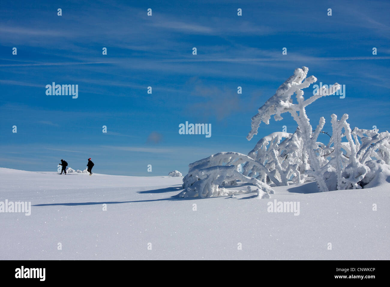 two wanderers on a snow-covered plain with single trees at the Schwarzwaldhochstrasse, Germany, Baden-Wuerttemberg, Stock Photo